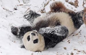 panda-snow-rolls-550x354